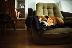 Sleepy Afternoon [Explored] (Oh beautiful world.) Tags: sleeping dog cute animals chair bulldog lazy englishbulldog ohbeautifulworld treesje hannekevollbehr