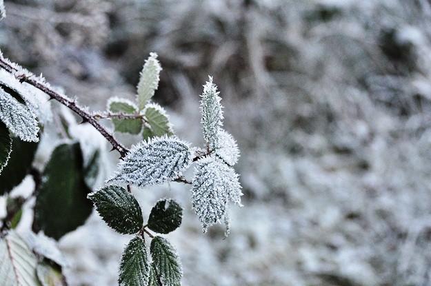 625 Snowy plant crystals