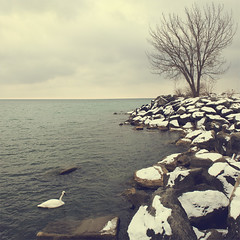 Bluffer's (David Sherret) Tags: park toronto ontario canada swan january scarborough stitched 2011 bluffers