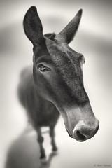 Talking to Me ? (Ben Heine) Tags: boss light wallpaper portrait horse inspiration cute eye art monochrome smile animal sepia work project cheval photography hope freedom big idiot funny energy poem image head lumire quality dumb air arts picture donkey atmosphere philosophy oeil sharp oxygen greece libert chef travail question license stupid expressive series conceptual proportion copyrights paranoia neuroscience mykonos mule hear equine oreille imagery ecosystem lookingatme workflow ne luminosity postprocessing mulet youtalkintome theartistery softtone digitaltechnology creativecomposition benheine samsungimaging nx10 katiegabrielle benheinecom