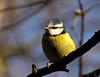 Blue Tit (Mr Grimesdale) Tags: bluetit seftonpark britishbirds stevewallace mrgrimesdale