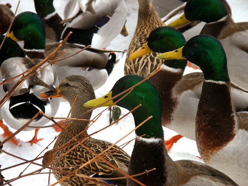 ducks central park