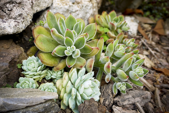 Kalanchoe tomentosa (the fuzzy one) and hens and chicks, Echeveria glauca