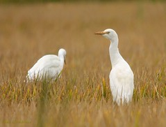 Gara-boieira | Cattle Egret  (Bubulcus ibis) (Rosa Gamboias) Tags: naturaleza nature birds wildlife natureza natura aves uccelli garas oiseaux egrets cattleegret bubulcusibis garaboieira natureselegantshots rosagambias