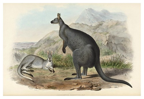 009-Gran Canguro Negro-The mammals of Australia 1863-John Gould- National Library of Australia Digital Collections