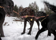 Three dogs and a stick - IMG_4826a (Ablume - back on naturewatch) Tags: copyright dog pet photography hund elite farummidtpunkt elitephotography dazzlingshots alfblumehotmailcom funfanphotos  birkhjmarken