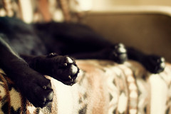 pup paws (thsntht) Tags: dogs lab blacklab labradorretriever adi dogpaws