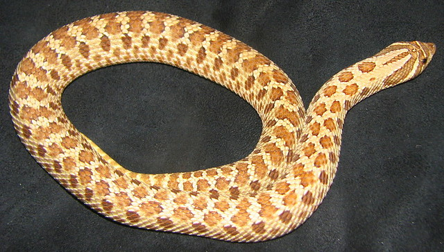 What Is My Snakes Morph? - Reptile Forums