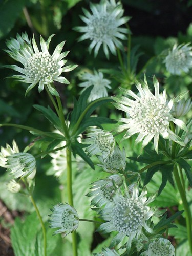 ASTRANTIA major ssp. involucrata 'Barrister'