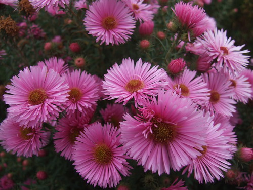 SYMPHYOTRICHUM novae-angliae 'Harrington's Pink'