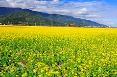 20110118_0243a_花東縱谷_油菜花季