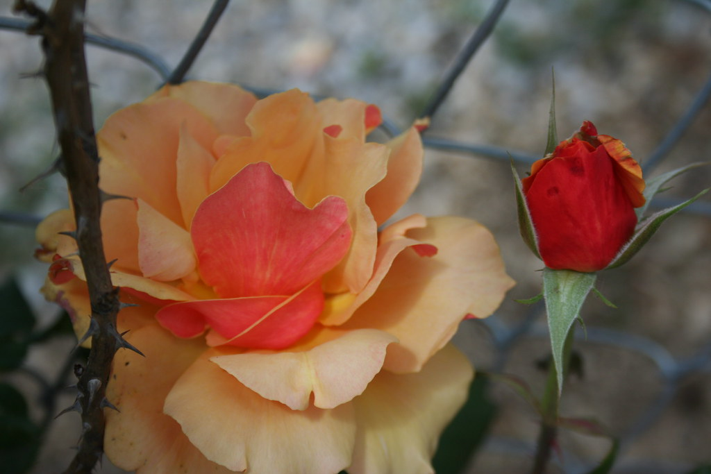 Roses in January: 21/31