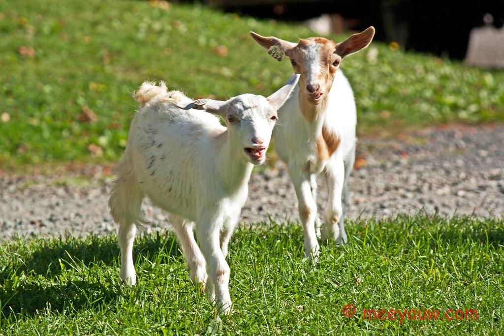 Barton Village Goats02.jpg