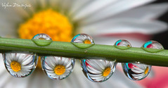 Vojkan Dimitrijevic - Daisy (malivoja) Tags: plant flower color macro nature water yellow canon drops spring colorful serbia clear crisp refraction daisy raindrops droplet belgrade bela liquid beograd raindrop rada srbija colorphotoaward vojkandimitrijevic