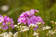 7K8A9686 (rpealit) Tags: scenery wildlife nature sparta mountain management area flower phlox