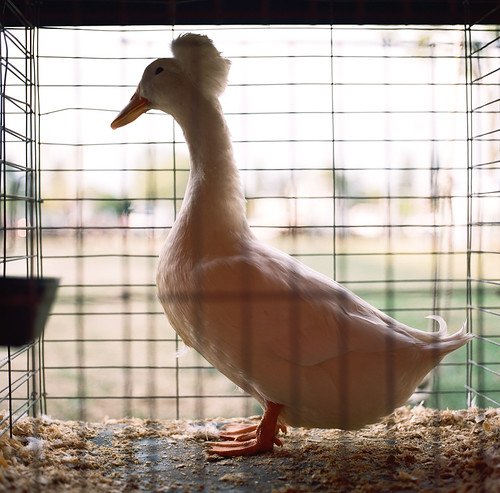 County Fair Duck