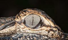 Gator Eye (Kristian Bell) Tags: nature animal fauna bell florida reptile wildlife everglades kris kristian