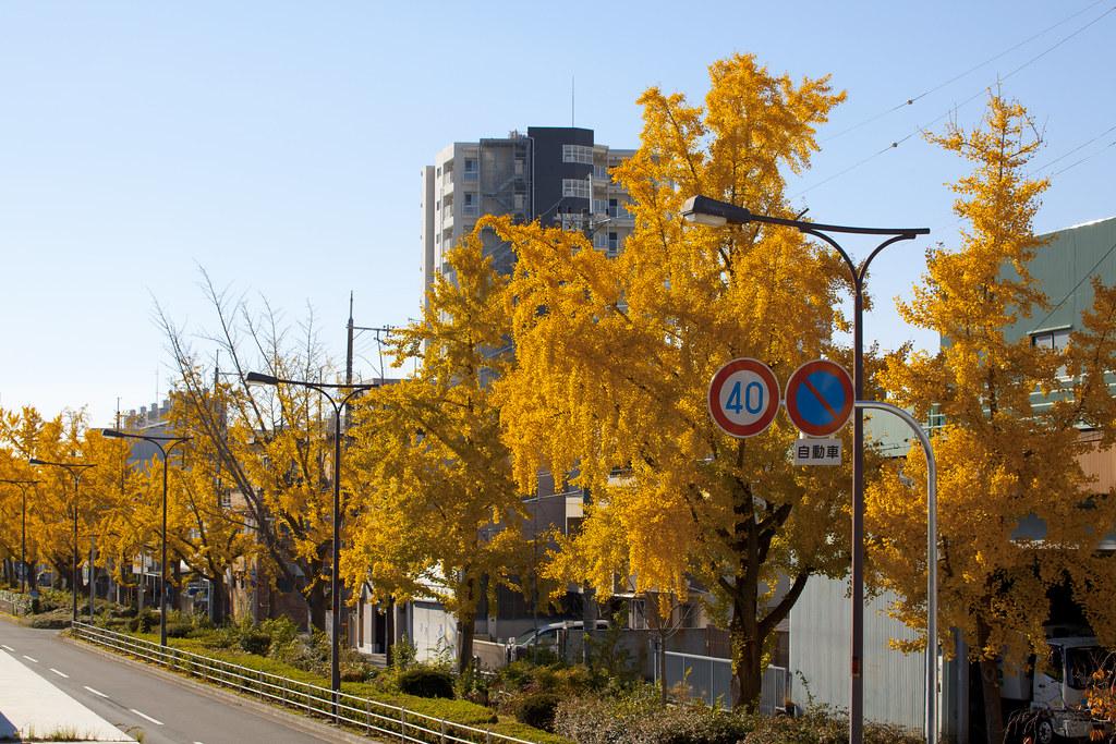 Ginkgo in Osaka