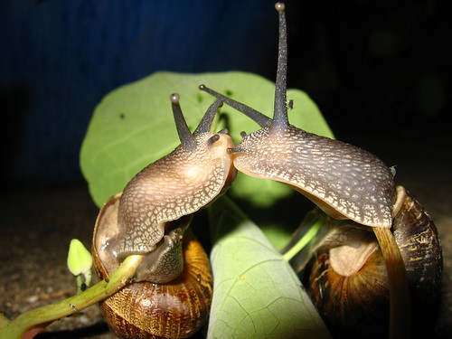 Garden Snails Kissing