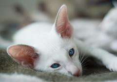 (HrafnhildurLaufey) Tags: blue white cute cat eyes kitten siamese icelandic smaskttur