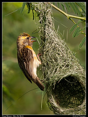 Baya Weaver-Men at work (Tharangini) Tags: male bird nature canon nest bangalore perch weaver bayaweaver