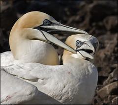 Bass Rock gannets (lisadb) Tags: site nest pair breeding a