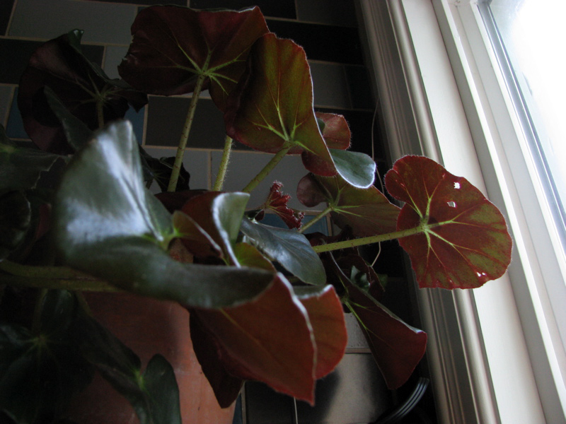 inherited begonia