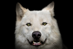 Wolf portrait (pattoise) Tags: portrait zoo wolf loup soe platinumheartaward animalwhite tripleniceshot mygearandmepremium mygearandmebronze mygearandmesilver mygearandmegold mygearandmeplatinum mygearandmediamond artistoftheyearlevel3 aboveandbeyondlevel4 aboveandbeyondlevel1 aboveandbeyondlevel2 aboveandbeyondlevel3 rememberthatmomentlevel4 rememberthatmomentlevel1 rememberthatmomentlevel2 rememberthatmomentlevel3