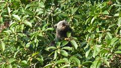 Binturong I (Luiz Edvardo) Tags: thailand nationalpark bearcat binturong asianbearcat arctictisbinturong khaoyai wildlifereserve khaoyainationalpark viverridae palawanbearcat schleichkatze marderbr