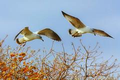 Gulls Eating Tallow Berries (TexasEagle) Tags: texas gulls larusdelawarensis sapiumsebiferum grapevinelake popcorntree ringbilledgulls chinesetallowtree triadicasebifera beautifulworldchallenges sandbasspoint