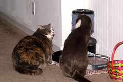 Tux and Shelby Fighting Over the Cat Food (joanna8555) Tags: food orange cats white cute cat grey nc fight sweet northcarolina feeder catfood shelby purr meow scratch tux hillsborough disagree totten joanna8555 thejabproj3ct shebbalone