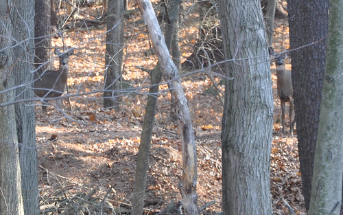 2010-12-11 - DEER IN THE WOODS 023