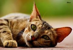 Curious Cat (.ღ♫°Qanas°♫ღ.) Tags: macro cat looking sweet unique uae kitty explore curious abu dhabi qanas