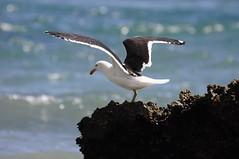 Take off! (Saumil U. Shah) Tags: new travel newzealand bird nature fly wings wildlife seagull gull spit zealand farewell nz aotearoa avian shah birdwatcher goldenbay farewellspit saumil saumilshah
