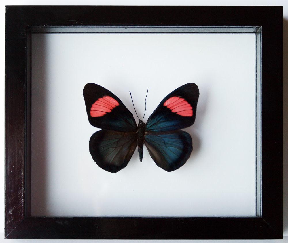 Batesia hypochlora in Black Frame