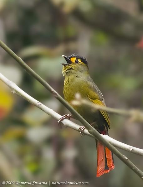 Indijā atklāts krāsains putns (Liocichla bugunorum) 2