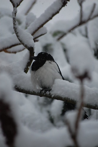 Dream Interpretation Free: To Dream About Magpie | Dream ...