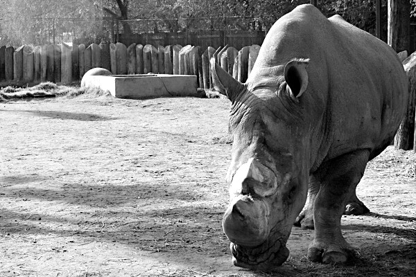 Rhinocerous at the Wildlife World Zoo