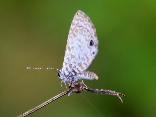 Cassius Blue 20101218