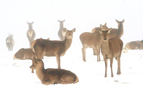 Herd of Deer in Winter