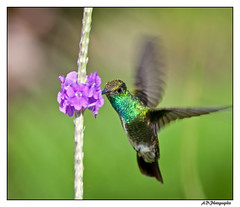 Vol stationnaire du colibri (Alexis.D) Tags: france bird nature fleur french francaise oiseau colibri guyane