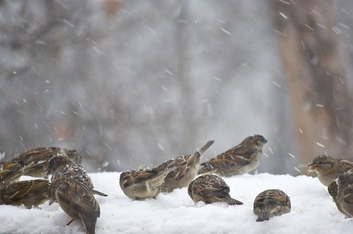 Birds in the 12/26 Northeast snowstorm