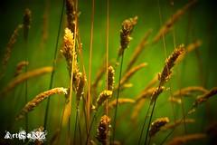 Grasses (artisanz) Tags: newzealand colour nature grass flora nikon warm dof picnik lomoish piknic greenbeautyforlife
