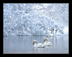 Swans in cold lake (Jan Tore Tangvik) Tags: winter cold water vinter swan nikon fugl gitzo vann d300 hamre svane kalandseidet