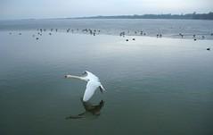 Mute swan, 2010 (andraszambo) Tags: county white lake bird water flying hungary balaton hattyú magyarország zala keszthely megye bütykös