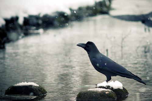 [フリー画像] 動物, 鳥類, カラス科, 雪, カラス, 201101031700