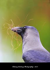 "House Crow (Corvus splendens) (suhaaz Kechery) Tags: ""indian housecrow canon60d കാക്ക housecrowcorvussplendens sigma150500dgapoos crowindianhousecrow"