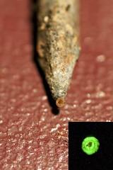 longexposure macro nail rusty fungus glowing bioluminescence mycenachlorophanos