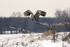 """We're outta here"" .......  Kiss the Year Goodbye! (Laura Rowan) Tags: winter snow canon rebel crane flight ravine sandhill sandhillcrane jasperpulaski jisforjasperpulaski"