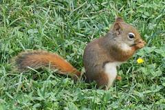 AMERICAN RED SQUIRREL  |  ECUREUIL ROUX  |  REFORD GARDENS  |   JARDINS DE MÉTIS  |  METIS  | GASPÉSIE   |  QUEBEC  |   CANADA (J.P. Gosselin) Tags: red canada gardens les canon garden de eos rebel squirrel quebec mark meadow ii american québec 7d canoneos jardins roux metis gaspesie lupins | markii écureuil the métis in gaspésie ecureuil reford t2i eos7d canoneos7d canon7d canoneosrebelt2i 7dmarkii ph:camera=canon canon7dmarkii refords